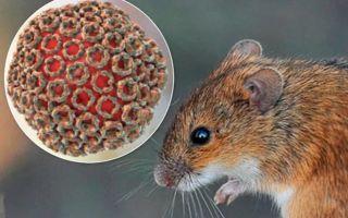 Хантавирус: в чём опасность нового вируса, основные методы профилактики